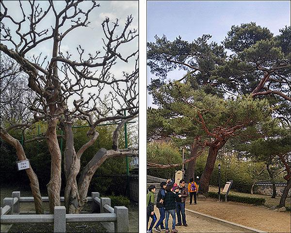 왼쪽이 강릉시 꽃 배롱나무이고 오른쪽은 율곡소나무다. 배롱나무는 아직 겨울이다