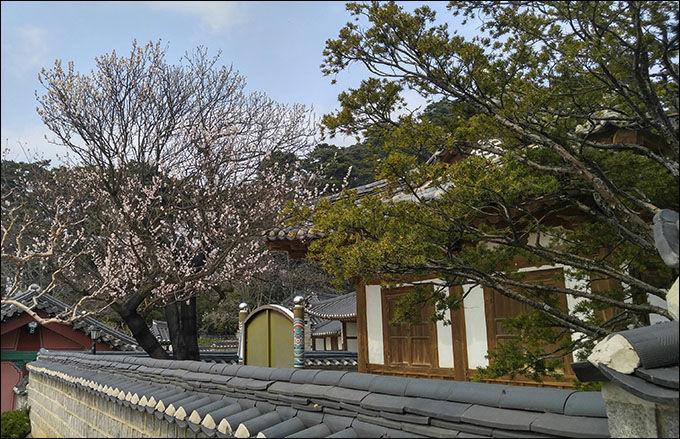 잘 보아야 600년된 매화나무꽃을 찾을 수 있다. 문성사 담 너머로도 보이는 매화꽃