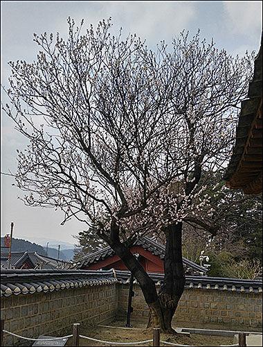 오죽헌 안의 문성사 뜰 모퉁이에 600년된 매화꽃 나무가 있다