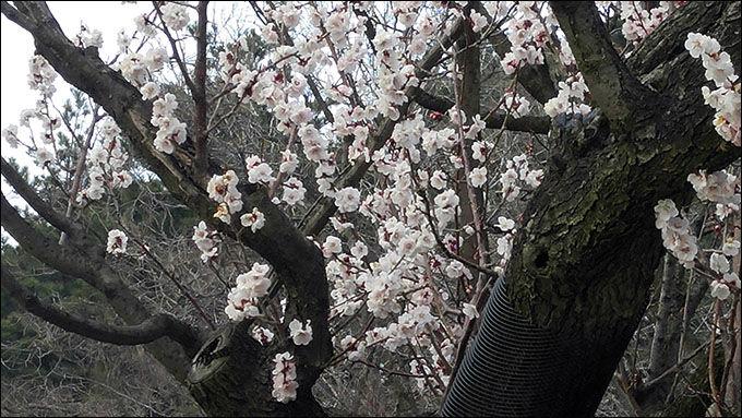 신사임당과 율곡 때부터 있던 600년된 매화꽃이 활짝 피었다