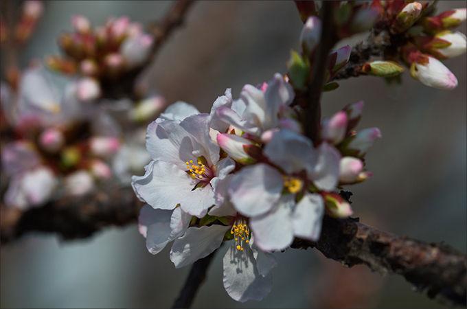 앵두나무 꽃