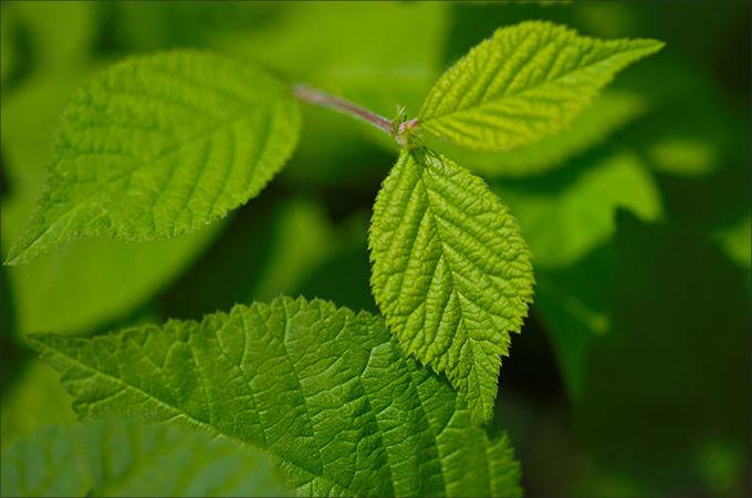 앵두나무 잎