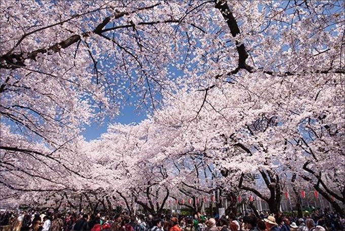 최근 코로나19 전쟁이 벌어지는 중에 도쿄 우에노공원에서 벚꽃놀이를 즐기는 사람들로 발 디딜 틈이 없었다.