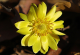 봄을 알리는 황금색 '얼음새꽃' 활짝